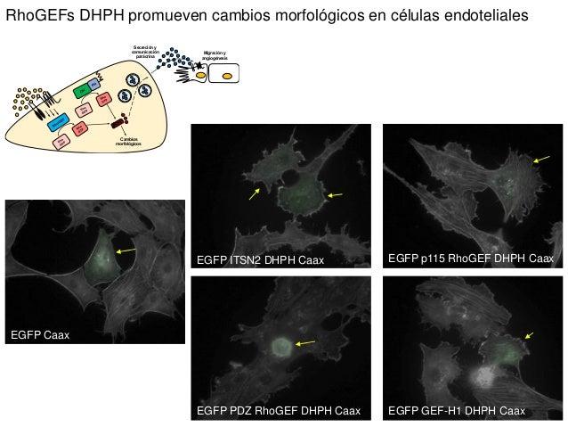 EGFP Caax EGFP ITSN2 DHPH Caax EGFP p115 RhoGEF DHPH Caax EGFP PDZ RhoGEF DHPH Caax EGFP GEF-H1 DHPH Caax RhoGEFs DHPH pro...