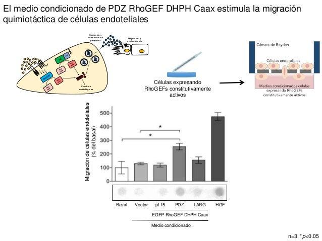 Células expresando RhoGEFs constitutivamente activos El medio condicionado de PDZ RhoGEF DHPH Caax estimula la migración q...