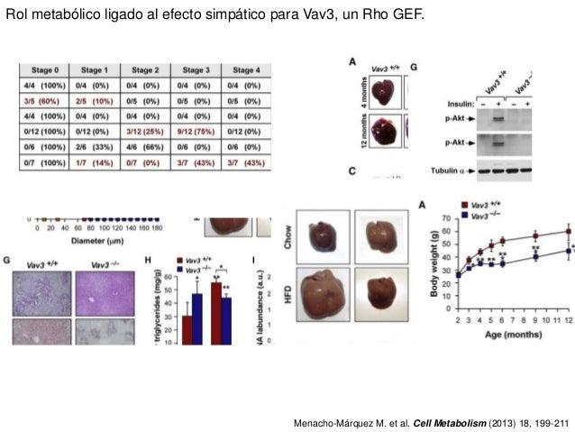 Rol metabólico ligado al efecto simpático para Vav3, un Rho GEF. Menacho-Márquez M. et al. Cell Metabolism (2013) 18, 199-...