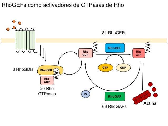 RhoGEFs como activadores de GTPasas de Rho 81 RhoGEFs 20 Rho GTPasas 66 RhoGAPs 3 RhoGDIs RhoGAP Rho GDP RhoGEF Rho GTP Rh...