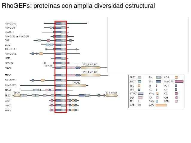 RhoGEFs: proteínas con amplia diversidad estructural