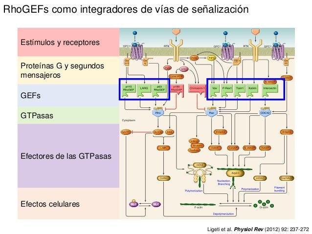 Ligeti et al. Physiol Rev (2012) 92: 237-272 Efectos celulares GTPasas Efectores de las GTPasas GEFs Estímulos y receptore...