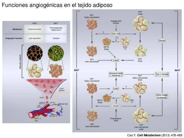Funciones angiogénicas en el tejido adiposo Cao Y. Cell Metabolism (2013) 478-489