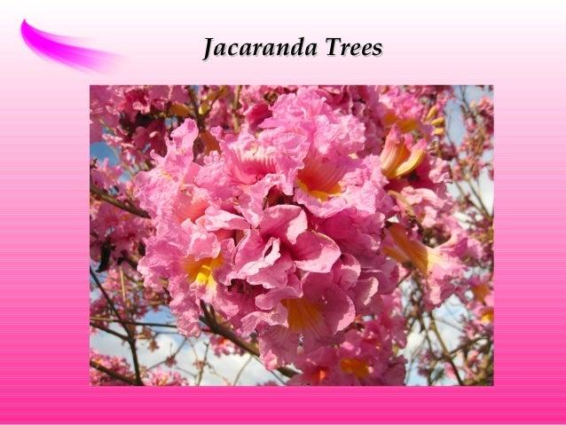 Jacaranda TreesJacaranda Trees