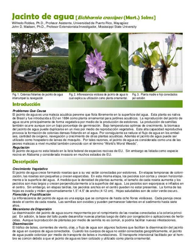 Jacinto de agua eichhornia crassipes 0 1 - Jacinto planta cuidados ...