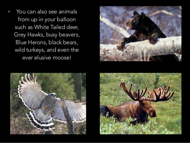 • You can also see animals from up in your balloon such as White Tailed deer, Grey Hawks, busy beavers, Blue Herons, black...