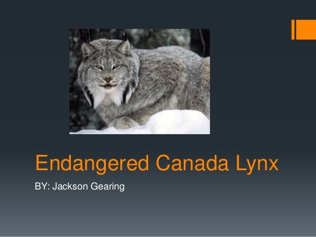 Endangered Canada LynxBY: Jackson Gearing
