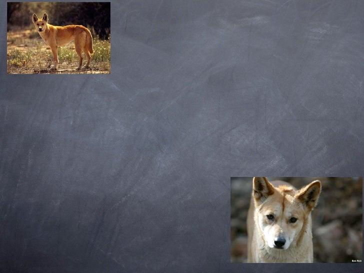 Dingo!!!