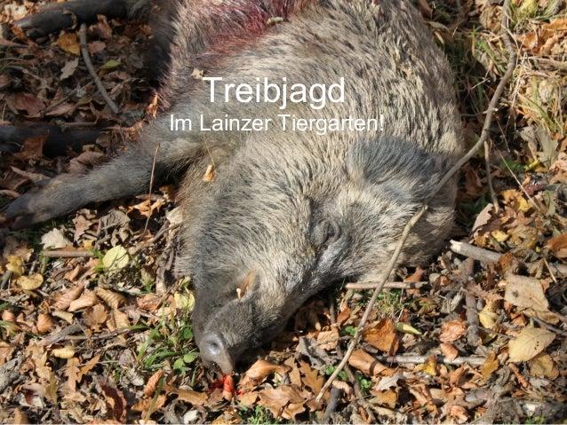 Treibjagd Im Lainzer Tiergarten!