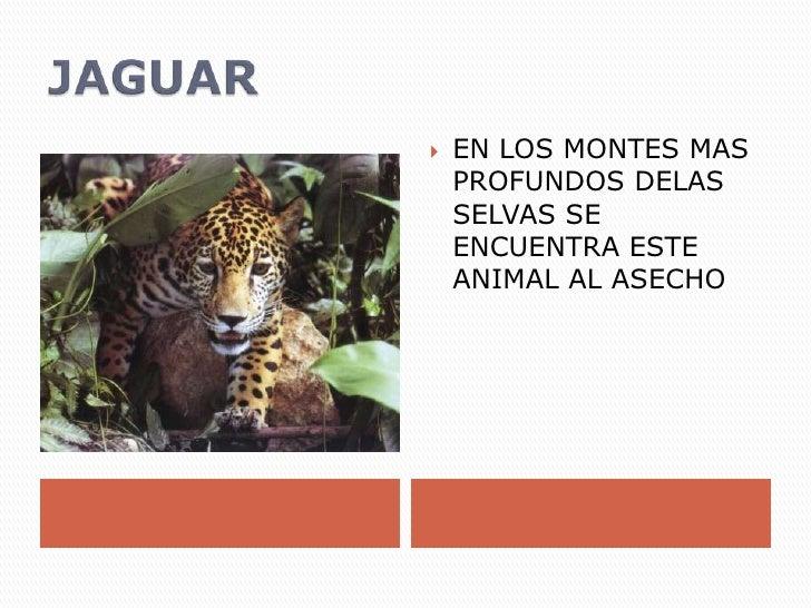 JAGUAR<br />EN LOS MONTES MAS PROFUNDOS DELAS SELVAS SE ENCUENTRA ESTE ANIMAL AL ASECHO<br />