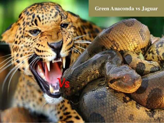 Jaguar vs green anaconda fight- who will win?