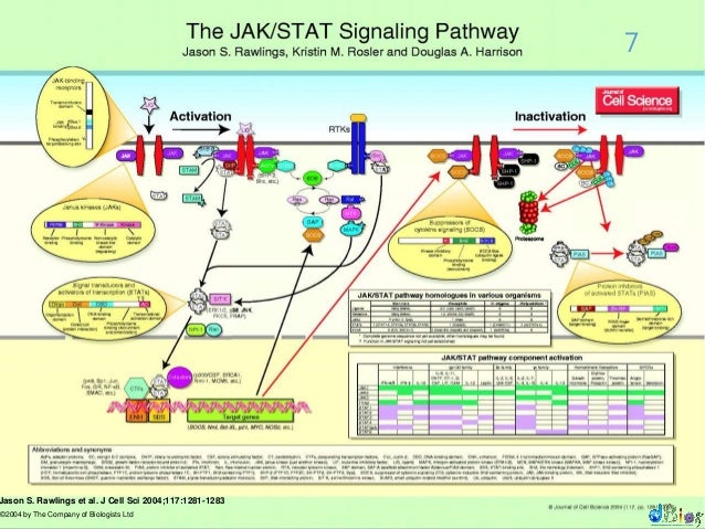 Jak stat signalling pathway