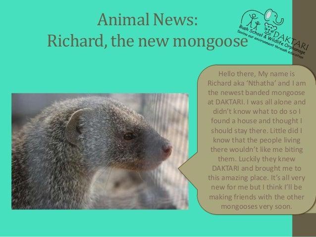 Animal News:Richard, the new mongoose                       Hello there, My name is                   Richard aka 'Nthatha...