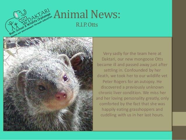 Animal News:    R.I.P. Otts                  Very sadly for the team here at                 Daktari, our new mongoose Ott...