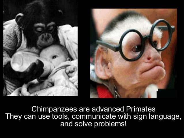 Chimpanzees are advanced Primates They can use tools, communicate with sign language, and solve problems!