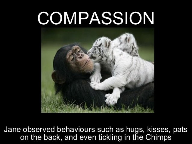 COMPASSION Jane observed behaviours such as hugs, kisses, pats on the back, and even tickling in the Chimps