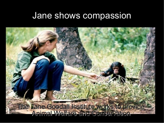Jane shows compassion The Jane Goodall Institute works to provideThe Jane Goodall Institute works to provide Animal Welfar...