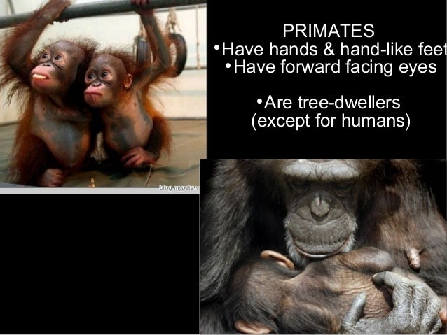 PRIMATES  Have hands & hand-like feet  Have forward facing eyes  Are tree-dwellers (except for humans)