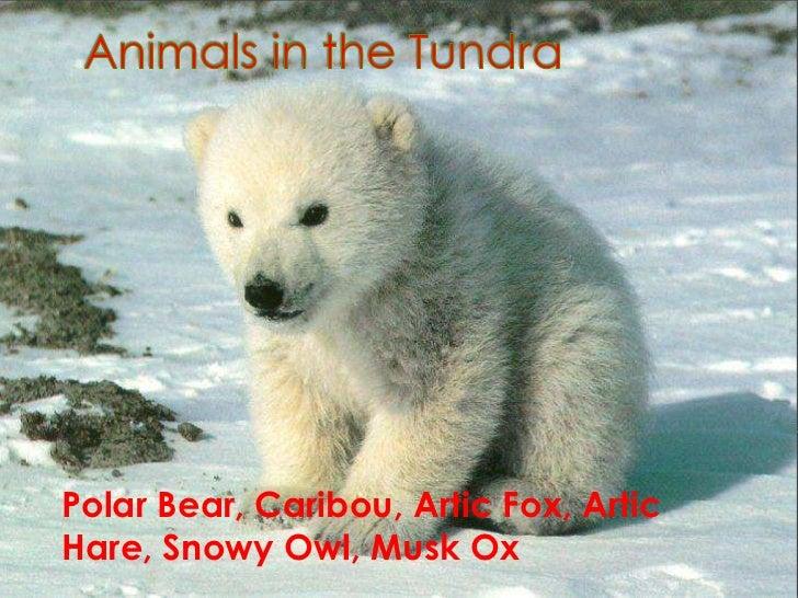 The Tundra