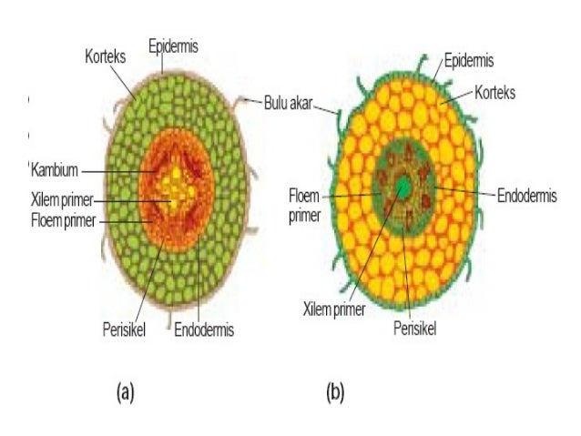 Perbandingan Struktur Anatomi Akar Monokotil Dan Dikotil Berbagai Struktur