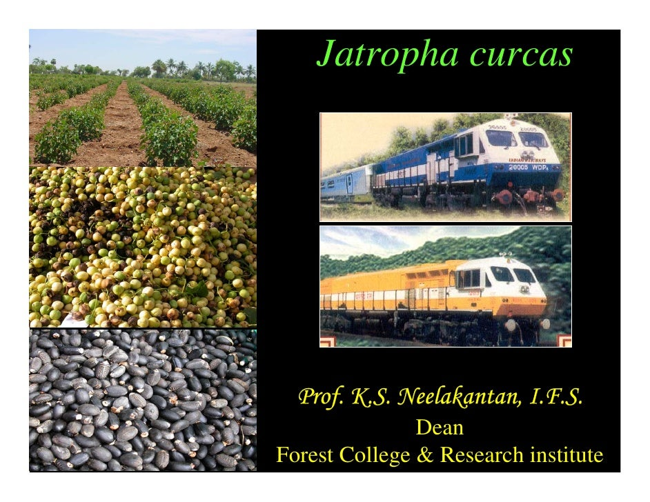 jatropha curcas research papers 5 page research paper due at 2, doesn't even have intro done #toocooltodeal bachelor thesis dissertation caulacanthus ustulatus descriptive essay proprietary interest vs personal interest essay ecology project ap biology essays cybercrime research paper expressions kool savas und dann kam essay remix 2017 global environmental change essay write my essay service review summer best time year .