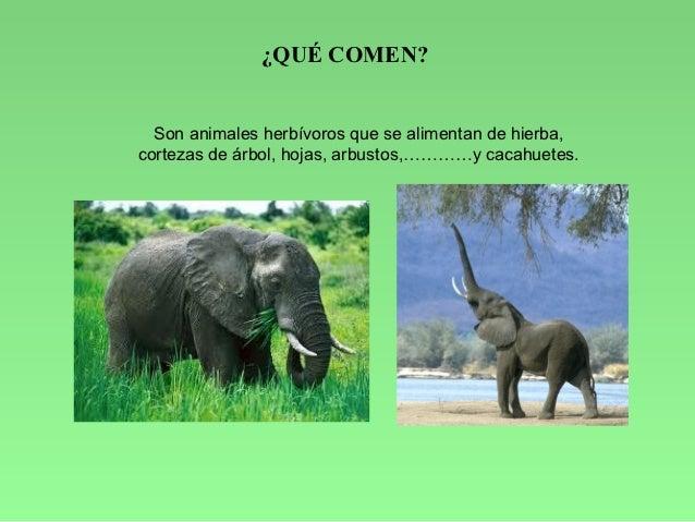 Javi y el mundo de los elefantes - Como se aparean los elefantes ...