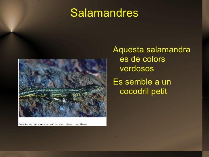 Salamandres <ul><li>Aquesta salamandra es de colors verdosos