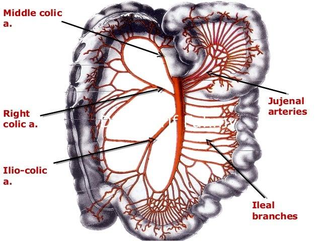 Jejunum Ileum Anatomy Of The Abdomen