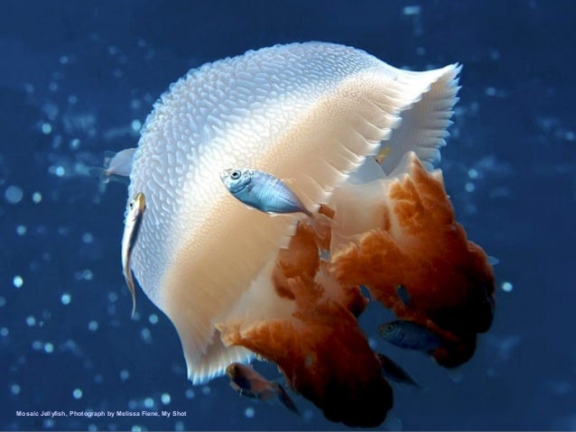 Mosaic Jellyfish, Photograph by Melissa Fiene, My Shot