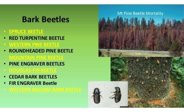 Bark Beetles • SPRUCE BEETLE • RED TURPENTINE BEETLE • WESTERN PINE BEETLE • ROUNDHEADED PINE BEETLE MOUNTAIN PINE BEETLE ...