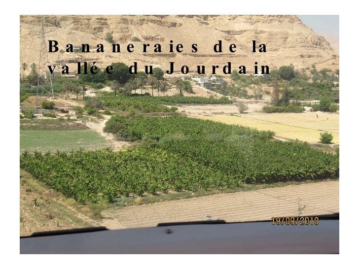 Bananeraies de la vallée du Jourdain