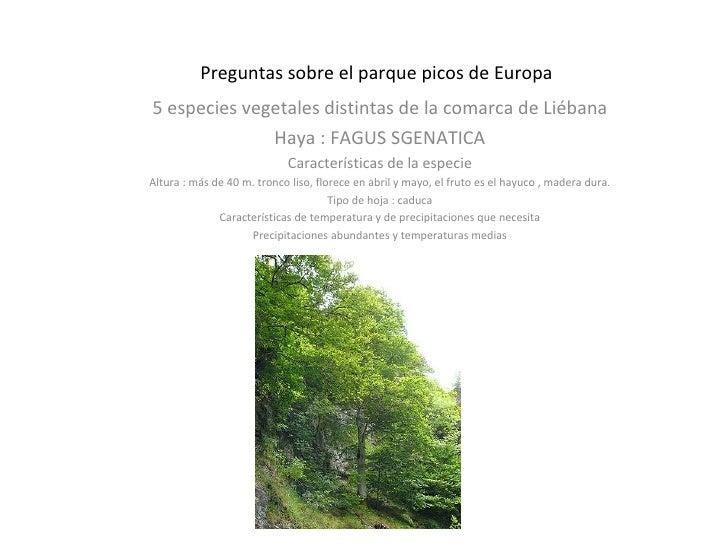 Preguntas sobre el parque picos de Europa 5 especies vegetales distintas de la comarca de Liébana Haya : FAGUS SGENATICA C...