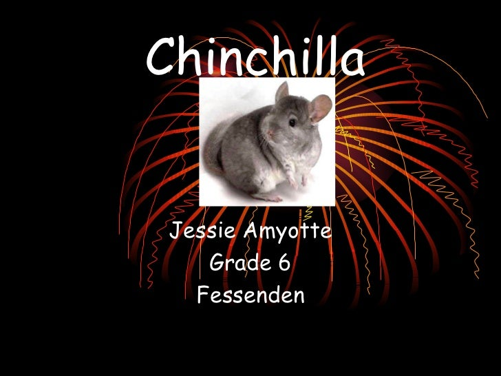 Chinchilla Jessie Amyotte Grade 6 Fessenden