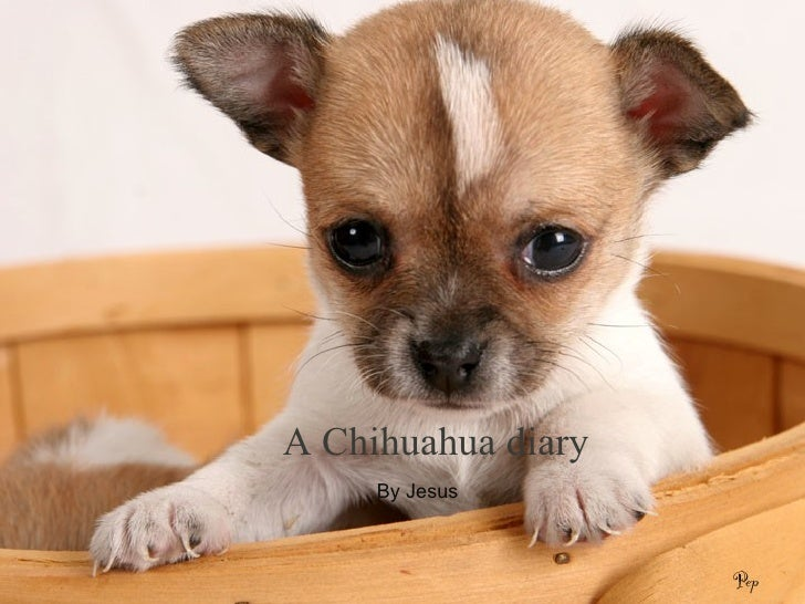 A Chihuahua diary  By Jesus