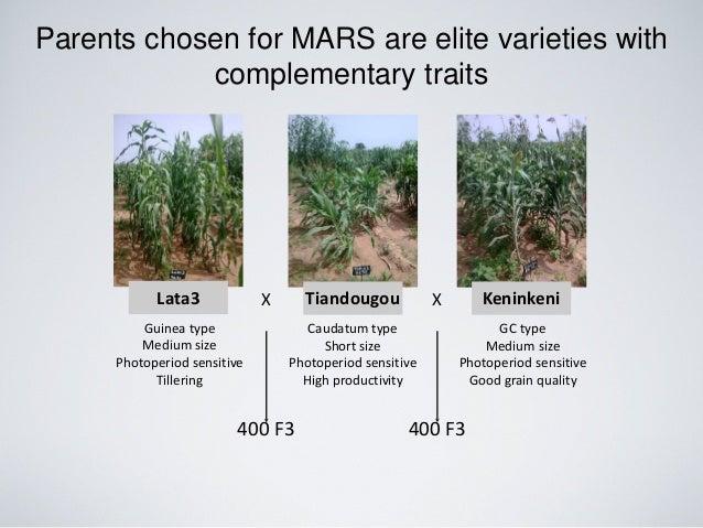 Lata3 KeninkeniTiandougouX X Parents chosen for MARS are elite varieties with complementary traits Guinea type Medium size...
