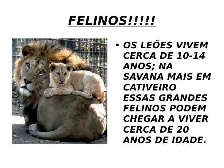 FELINOS!!!!! <ul><li>OS LEÕES VIVEM CERCA DE 10-14 ANOS; NA SAVANA MAIS EM CATIVEIRO ESSAS GRANDES FELINOS PODEM CHEGAR A ...