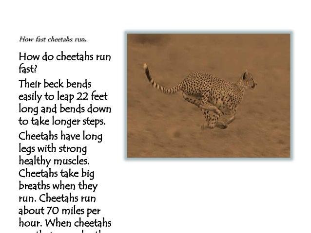 How Fast Do Cheetahs Run Jhonas cheetahs...
