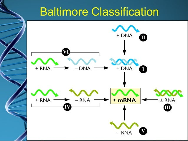 Group V (Baltimore) viral classification