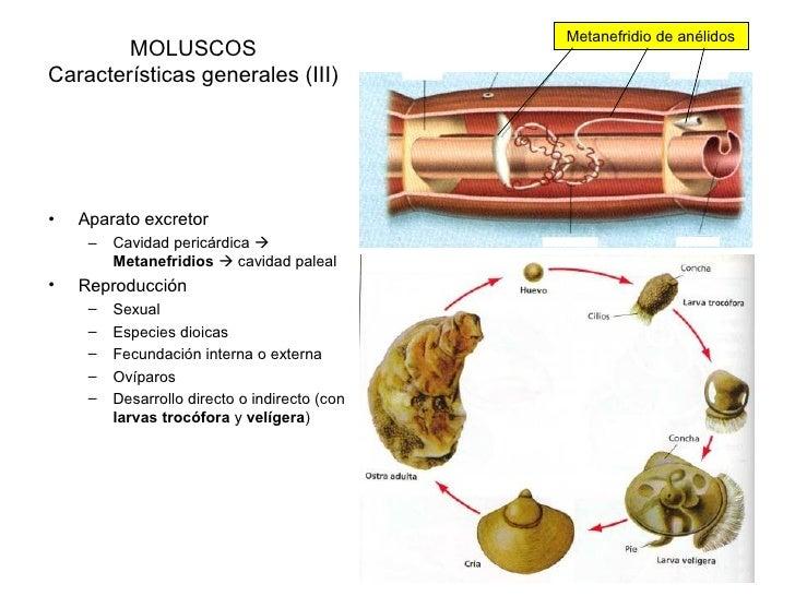 Moluscos gasteropodos reproduccion asexual