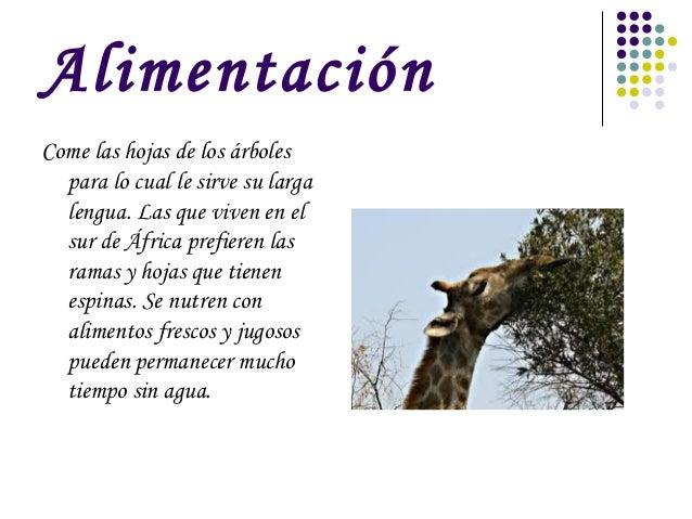 Jirafas for Arboles de hoja perenne para clima mediterraneo