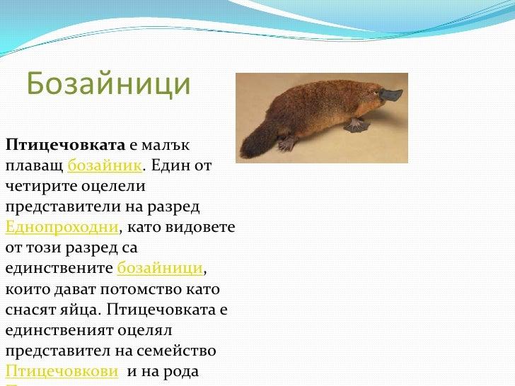 Бозайници<br />Птицечовкатае малък плаващ бозайник. Един от четирите оцелели представители на разред Еднопроходни, като ви...