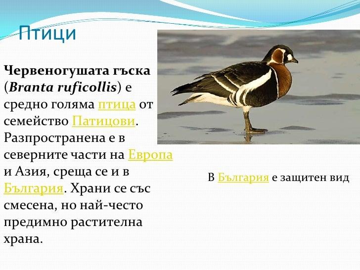 Птици<br />Червеногушата гъска (Branta ruficollis) е средно голяма птица от семейство Патицови. Разпространена е в северни...