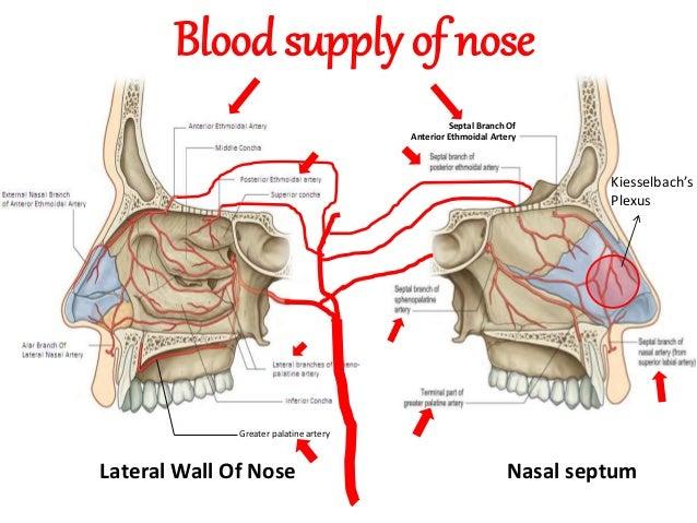 Image Gallery sphenopalatine artery