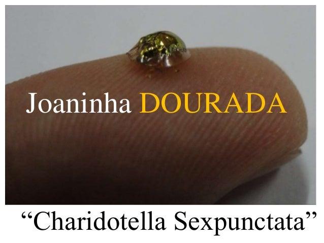"""Joaninha DOURADA  """"Charidotella Sexpunctata"""""""