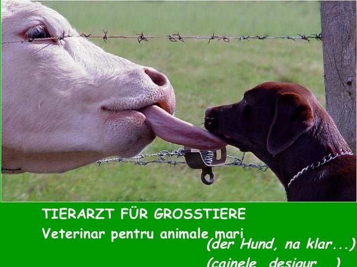 TIERARZT FÜR GROSSTIERE Veterinar pentru animale mari (der Hund, na klar...) (cainele, desigur...)