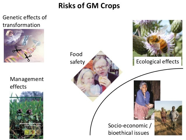 are there dangers of gm food This article looks particularly at how it is used in crops, and the environmental  risks see also an introduction to gmos, gmos - health concerns, gmos -  political.