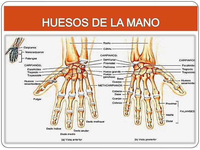 Johana paredes anatomia huesos pie y mano