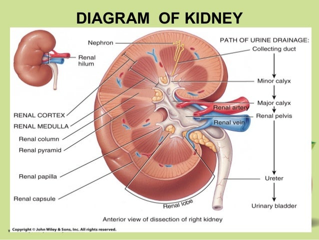Diagram of kidney major calyx trusted wiring diagram johny s a p excretion rh slideshare net calyx kidney anatomy human kidney diagram ccuart Image collections