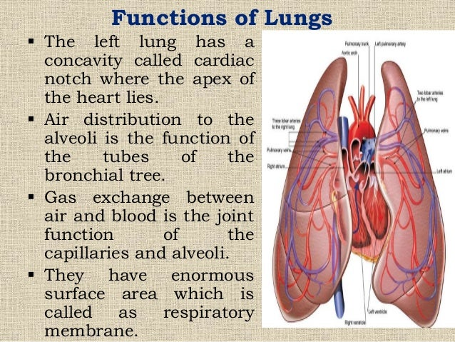 johny's a&p structure and function of respiratory system, Cephalic Vein