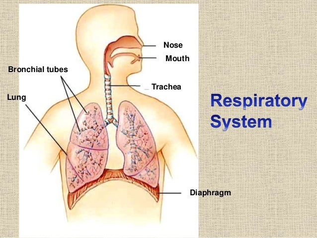 Johny\'s A&P structure and function of respiratory system